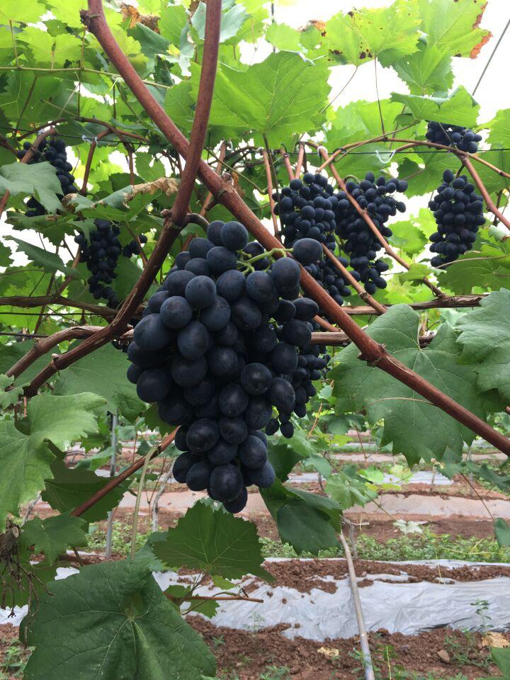 沐川生态葡萄成熟咯